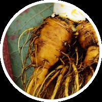 Turkish Rhubarb Root